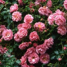 Breeders of the English Roses. Specialist growers of old, shrub, species, climbing and modern roses. All Plants, Potted Plants, Ground Cover Roses, David Austin Roses, Planting Roses, English Roses, Pheasant, Perennials, Floral Wreath