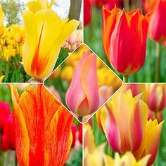 Breck's - Direct to you from Holland since 1818 Part Shade Flowers, Bulb Flowers, Tulips Flowers, Colorful Flowers, Summer Bulbs, Spring Bulbs, Spring Blooms, Perennial Bulbs, Shade Perennials