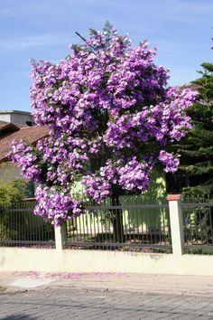 Visite o post para mais. Purple Trees, Colorful Trees, Dogwood Trees, Flowering Trees, Tropical Landscaping, Tropical Plants, Fruit Trees, Trees To Plant, Plantas Bonsai