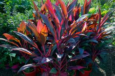 Cordyline terminalis Ruby   Lakeside Plants & Nursery