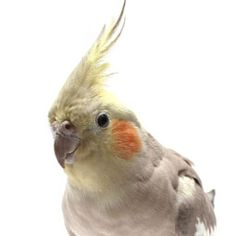 Cockatiel Night Frights. A great article on night frights that I certainly wish I had read years ago. Most of the preventative measures that they list in this article really do help.