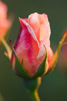 small ROSE BUD to represent my niece