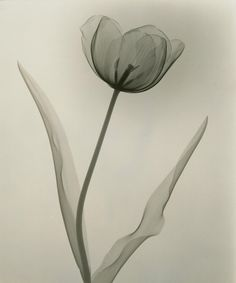 Check Out These X-Rays of Flowers From the 1930s | Smart News | Smithsonian