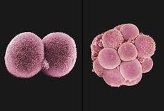 Kuvahaun tulos haulle fertilized egg