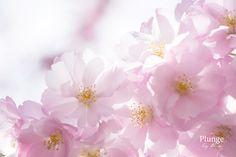 Kungsanin kirsikkapuut