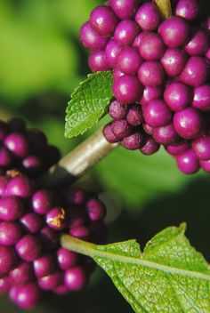 Complementary greens and magentas of Beautyberry