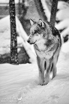Remembering SnowI did not sleep last night. The falling snow was beautiful and white. I dressed, sneaked down the stairs And opened wi. Online Art Gallery, Worlds Largest, Husky, Community, Snow, Deviantart, Dogs, Artist, Animals