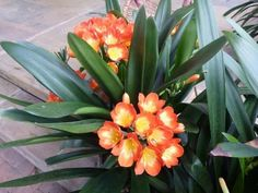 Clivia Plant description Clivia are one of the few plants that will grow… Low Maintenance Landscaping, Low Maintenance Garden, Gardening Zones, Container Gardening, Gardening Blogs, Plants Under Trees, Backyard Pool Landscaping, Landscaping Ideas, Plant Species