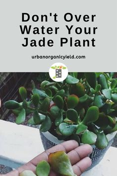 Jade plants can thrive without much water. However, under watering may cause succulents to drop leaves or get leaf spots. This will also lead to roots drying out. Garden Fun, Garden Tips, Lawn And Garden, Garden Ideas, How To Water Succulents, Succulent Soil, Planting Succulents, Jade Plants, Cactus Plants