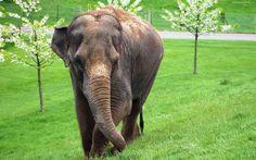 Słoń, Trawa, Kwitnące, Drzewa