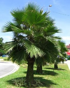 The scientific name for the Guadalupe Palm is – Brahea edulis. Guadalupe Palm is native to Guadalupe Island off of the Western coast of Mexico. This palm is cold hardy down to and can be …