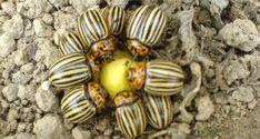 Самые распространенные и действенные народные способы в борьбе с колорадским жуком могут избавить вас от этих вредных насекомых навсегда!