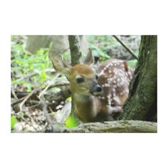"""Whitetail Deer Fawn (Wrapped Canvas Print) as shown, 36""""x24"""" $163.00."""