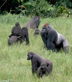 A new study by WCS researchers and the Max Planck Institute determined that female western lowland gorillas actively seek out the biggest silverbacks to father their offspring.