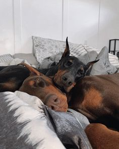 Doberman Dogs, Doberman Pinscher, Dobermans, Cute Puppies, Cute Dogs, Dogs And Puppies, Doggies, Chien Dobermann, Cute Baby Animals