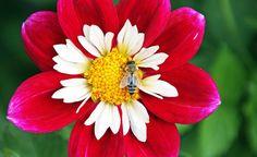 Eine Biene beim Nektarsammeln auf einer ungefüllten Dahlienblüte