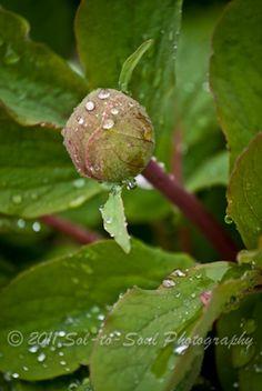 A bud in the rain. Senior Portraits, Family Portraits, Light Of Life, Bud, Rain, Photoshoot, Landscape, Nature, Photography