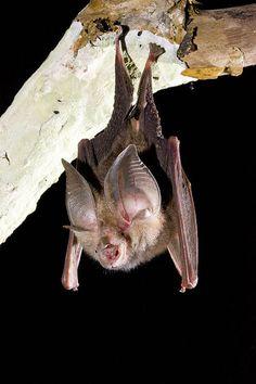 Lesser Large-eared Horsesheo Bat, Rhinolophus sp (maros), Australia by AusBatPerson