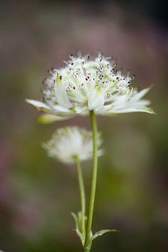 White Madeleine. Astrantia.