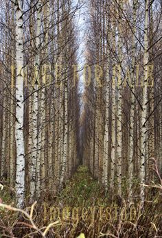 for sale alley between birch trees