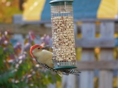 Backyard birding and photography -- two great hobbies!   This is a Red-bellied woodpecker at peanut feeder