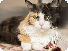 Phoenix, AZ - Domestic Longhair. Meet YUMA, a cat for adoption. Why I''d make a great companion: ~I am a sweet and pretty 6 pound gal, come down and meet me! ~We lived with other cats in our previous home ~I love to get cheek scratches and affection, got a lap I can lay on? I am known to be the pur-fect lap cat! http://www.adoptapet.com/pet/17658628-phoenix-arizona-cat