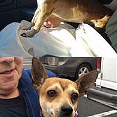 Chantilly, Virginia - Chihuahua. Meet Peter, a for adoption. https://www.adoptapet.com/pet/19997134-chantilly-virginia-chihuahua-mix