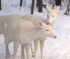 Beautiful Albino Whitetail Deer (I would love to come across albino deer on a snow day - or any day! Cute Baby Animals, Animals And Pets, Wild Animals, Beautiful Creatures, Animals Beautiful, Peter Wohlleben, Albino Deer, Rare Albino Animals, Mundo Animal
