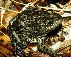frogs found in mississippi - Google Search #PearlTheTurtle #LOL4