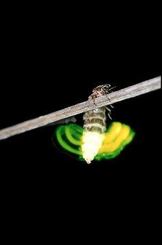 female Common Glow worm (Lampyridaw)
