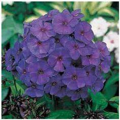 Royal Purple Phlox Plant