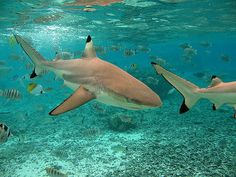 Black tipped reef sharks - One of my favorite kinds of shark