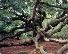 This is the Angel Oak Tree in Charleston, South Carolina. It grows in an undeveloped acreage on John's Island in a Live Oak forest. Angel Oak Trees, Johns Island, Folly Beach, Nature Tree, Oh The Places You'll Go, Trees To Plant, The Great Outdoors, South Carolina, Wonders Of The World