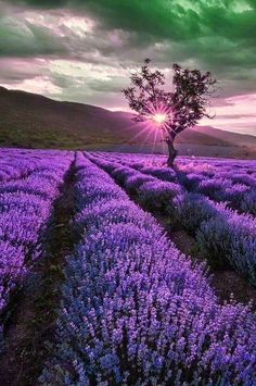 Most Beautiful Purple Flowers with Pictures - Lavendel. Beautiful World, Beautiful Places, Beautiful Pictures, Romantic Places, Types Of Purple Flowers, Valensole, Flower Landscape, Watercolor Landscape, Landscape Design