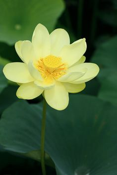How stunning - Yellow Lotus Flower Water Flowers, All Flowers, Exotic Flowers, Amazing Flowers, Yellow Flowers, Beautiful Flowers, Aquatic Plants, Mellow Yellow, Bunt