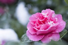 Camellias have been the pride of southern gardeners for many years. Add these beautiful blooms to your garden. Camellia Tree, Camellia Plant, Perennial Garden Plans, Shade Shrubs, Winter Flowers, Garden Planning, Garden Plants, Perennials, Flora