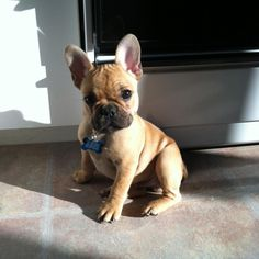 Frankie the Frenchie pup