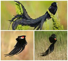 Male long-tailed widow bird from Africa - Can't fly in the rain his tail is too big.