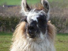 steph - null Llama Alpaca, Alpacas, Animals, Animaux, Animal, Animales, Animais
