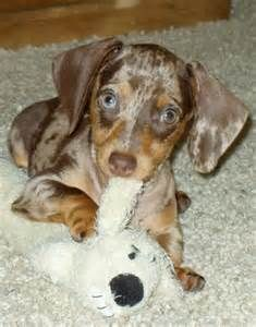 Dapple Dachshund - I have a black and grey one, now I need one this color