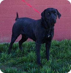 Doylestown, PA - Labrador Retriever. Meet Sophie, a dog for adoption. http://www.adoptapet.com/pet/12926492-doylestown-pennsylvania-labrador-retriever