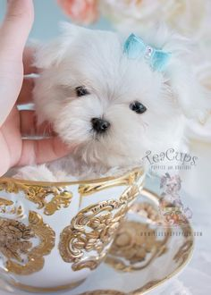 Tiny Maltese puppy by TeaCups luxury puppy boutique
