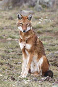 Ethiopian Wolf by M. Watson Ethiopian Wolf (Canis simensis) sitting in the Bale Mountains, Ethiopia, at 4000m - 4300m elevation. The endangered Ethiopian Wolf is also known as the Simien Jackal,...