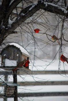 Scarlet dudes and two lady cardinals. Ohio's official state bird.