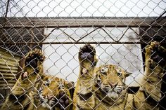 ACT: Call on CITES to end tiger farming list of email contacts for you to use is on the link (please click 'website')   Category:Actions TigerTime General  - See more at: http://tigertime.info/blog/173/99/ACT-Call-on-CITES-to-end-tiger-farming#sthash.W6nM1MeF.dpuf  Blog Detail - TigerTime