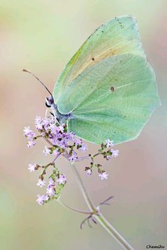 Iridescent green butterfly with soft lavender flower. Papillon Butterfly, Butterfly Kisses, Butterfly Wings, Beautiful Creatures, Animals Beautiful, Cute Animals, Beautiful Bugs, Beautiful Butterflies, Butterflies Flying