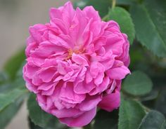 Baronne Prevost (Palatine Roses)