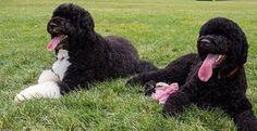 Conheça Sunny, o novo membro da família do presidente Barack Obama - O cão Bo tem uma nova companheira da mesma raça na Casa Branca