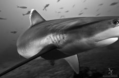 Matty Smith. Silver tip shark