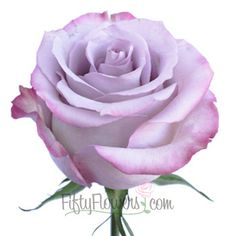 Purple Haze Lavender Rose is an exquisite pale lavender bloom with creamy undertones and guard petals that deepen to a rosy pink. Sophisticated yet oh so romantic,